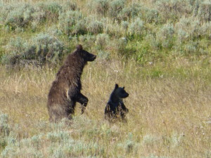 Roadside Grizzly Sow and Cub in Yellowstone