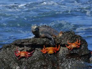 Iquana crabs