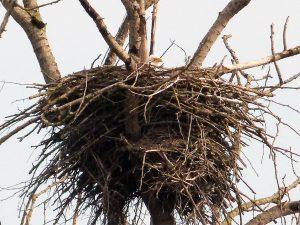 b-eagle-nesting
