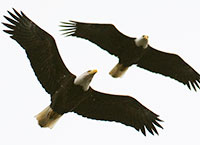bald-eagle-pair-flight