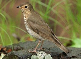 Swainson's Thrush Cornell Photo