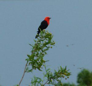 Scarlet-headed B Bird